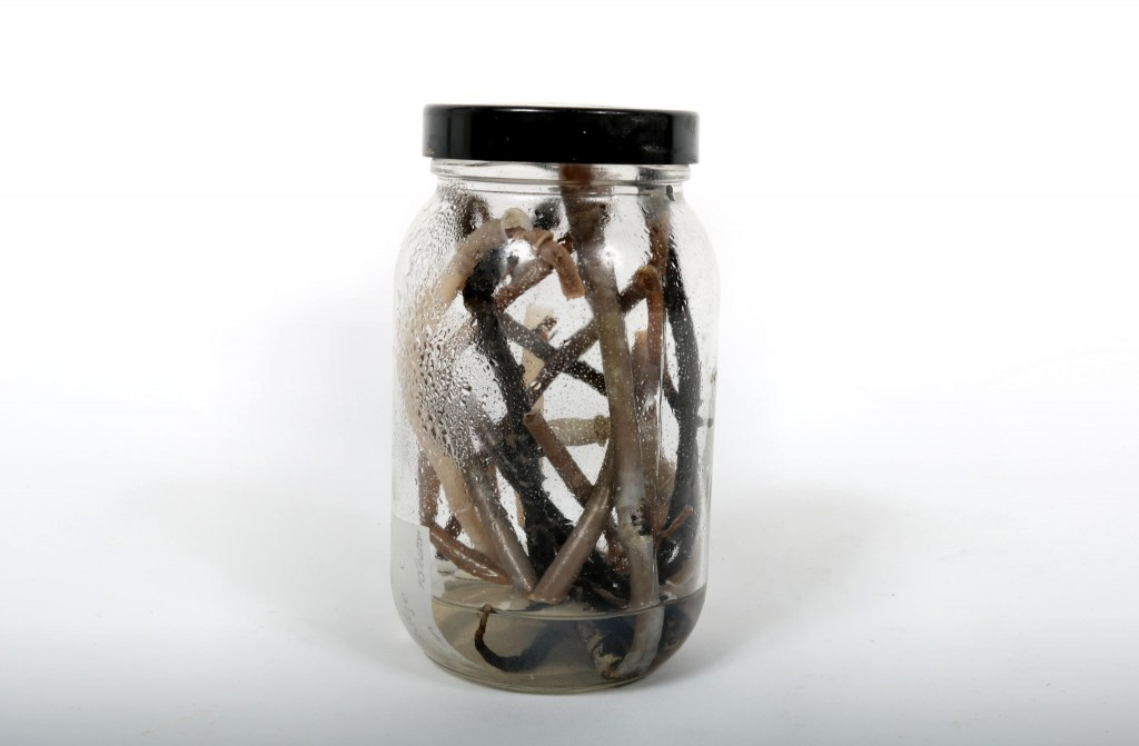 Tube Worms collected from the Southern Explorer Ridge